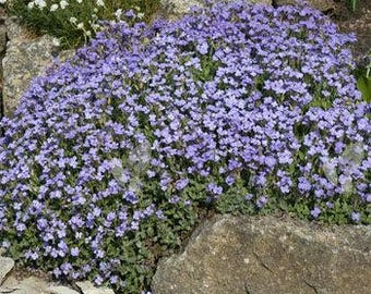Aubrieta Rock Cress Pale Blue/Hybrida Graeca/Perennial   50+