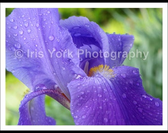 Iris Flower with Raindrops on Petals Close-up, Purple Iris, Flower Photo,  Landscape Print, Nature, Wall Art