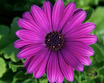 Purple Daisy, 3Butterflies Photography, photos, photography,purple, daisy, garden, macro, summer, sunshine