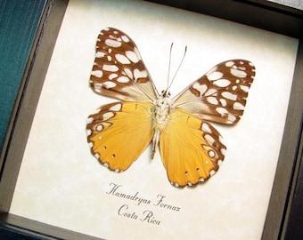 Real Framed Hamadryas Fornax Orange Cracker Verso Butterfly 519