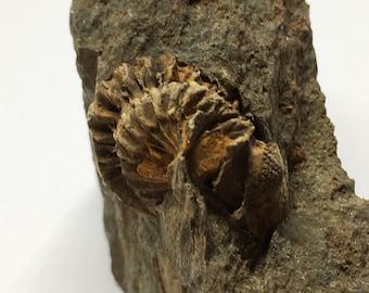 Trilobite sp. Devonian of France