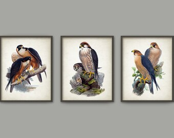 Falcon Vintage Illustration Wall Art Poster Set Of 3 - Birds of Prey Home Decor - Falcon Wall Art Print (B389)