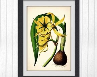 Botanical prints, Botanical Vintage print 140, classic flower illustration