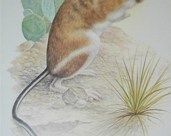 Kangaroo Rat Print Severt Andrewson 11666 Scriptural Scripture