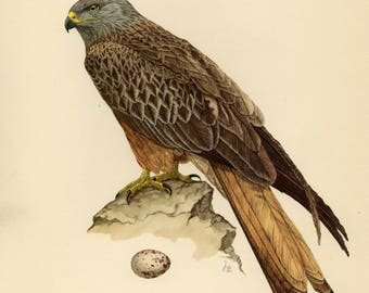 Vintage lithograph of the red kite from 1953