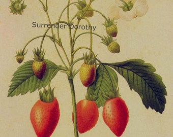 Wild Strawberry  Fragaria Chiloensis Redoute Vintage Fruit Botanical Lithograph Print To Frame 140