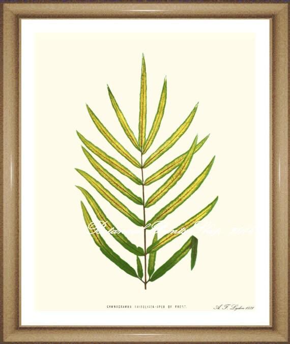 Fern Print No. 10 Gymnogramma. Ferns print. Fern Wall Art.