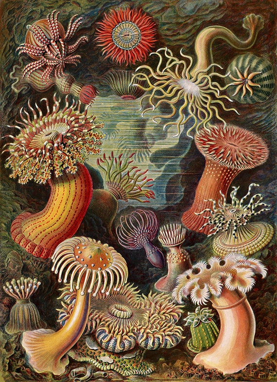 Ernst Haeckel Biology Print Sea Anemones Scientific Anatomy