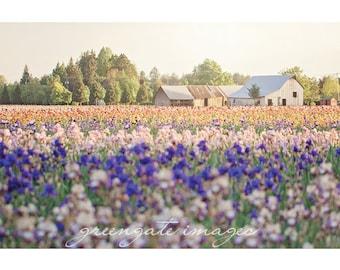 Flower Field Photo Print - iris field, flower farm, flower photography, farm house decor, old barn photo, pacific northwest, gifts for mom