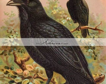 Digital Download Printable - Crows Ravens Antique Lithograph Illustration - Paper Crafts Scrapbooking Altered Art - Vintage Bird Art