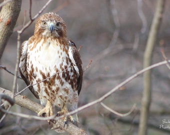 4x6 Red Tailed Hawk