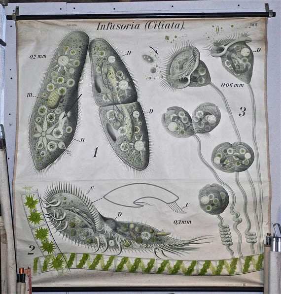 Paul Furtscheller Early 1900's Zoological Poster Of Ciliates