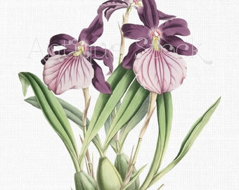Orchid Clipart 'Morel's Miltonia' Antique Botanical Illustration Digital Download Image for Crafts, Decor, Collages, Scrapbook, Invites...