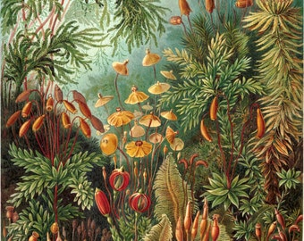 Ernst Haeckel Botanical Print - Nature Art Fungi