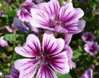 Zebrina Hollyhock Flower Seeds/Malva Sylvestris/Perennial    30+