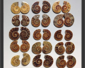 Ammonite 19 to 31mm randomly picked pieces