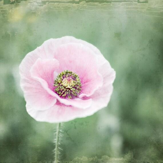 Poppy flower photography botanical print pink poppy flower mightylinksfo