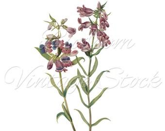 Lilac Flowers Botanical Digital Image, Antique Illustration INSTANT DOWNLOAD Botanical Digital Image - 1655