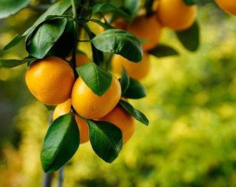 Satsuma Roll On Perfume Oil Fragrance Mandarin Orange Scent