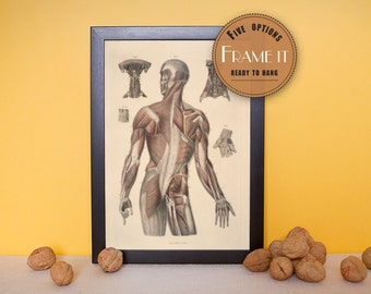 """Vintage illustration of Muscles of the Trunk, Neck and Arms - framed fine art print, art of anatomy, 8""""x10"""" ; 11""""x14"""", FREE SHIPPING - 188"""