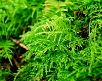 Live moss, fern moss with fine leaves, 1 gallon bag for a terrarium, vivarium, miniature gardens or terrarium plant, Give a natural look.