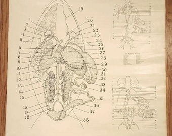 1937 Frog Dissection Anatomy Chart Poster Decor Wall Art by General Biological Supply House, Inc