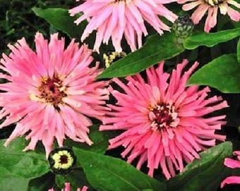 30+ Pinca Pink Zinnia Flower Seeds