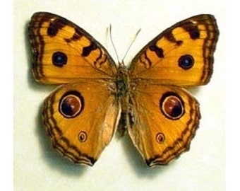Stunning Eyespots Real Butterfly Conservation Display 274