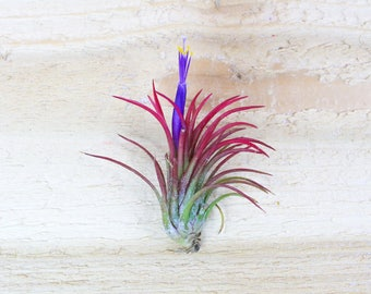 3 Pack of Ionantha Fuego Air Plants - 30 Day Air Plant Guarantee - Spectacular Blooms - Air Plants for Sale - FAST SHIPPING