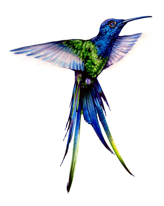 Long Tail Hummingbird Watercolor Illustrations Art Print
