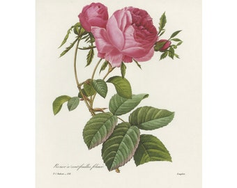 Pink Rose Redoute Print Book Plate SALE Buy 3, get 1 FREE (off-white background)