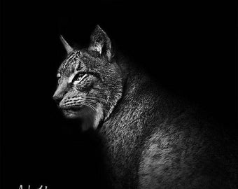 Square poster portrait of a lynx in black and white on bottom black 20x20cm