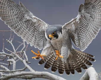 Peregrine Falcon Photo and/or Metal Print