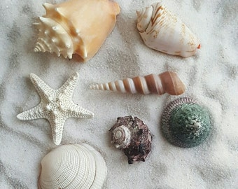 Sea Shells,  Assorted Natural Sea Shell,  Shells, Sea Shells