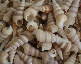 "Brown Turitella Shells (1-2"") | 20 Pieces"