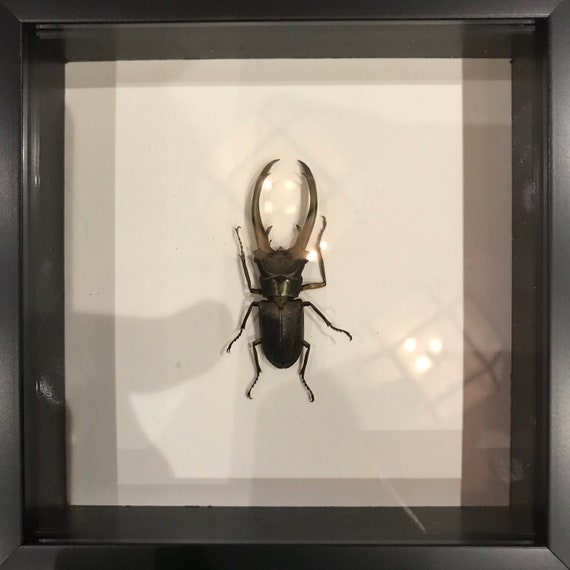 Real taxidermy cyclomatus beetle display