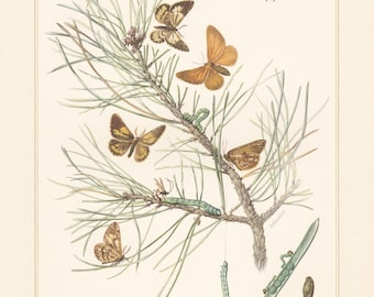 Vintage lithograph of pine looper, bordered white, geometer moths from 1956