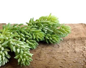 Blue sedum, faux succulent, stonecrop, artificial succulent, fake succulent, sedum reflexum, sedum represtre, tetractinum, sedum plant
