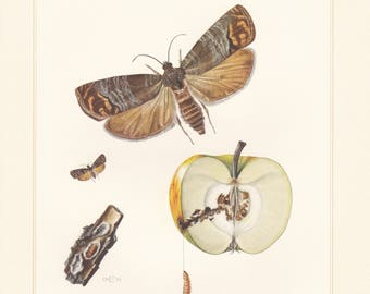 Vintage lithograph of leafroller moths, codling moth, tortrix moths from 1955