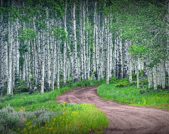 Summer Birch Tree Grove with Winding Dirt Road No.0667 - A Fine Art Landscape Photograph