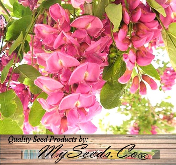 Rose locust tree seed bristly locust rose acacia seeds robinia hispida zones 5 and up mightylinksfo
