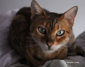 Sophie, Bengal Cat. Green Eyed Cat,  Cat Photography, Bengal Cat Photography, Striped Cat Photography, Spotted Cat Photography