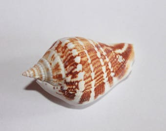 Shell: mother of Pearl natural about 69 - 34 mm individually