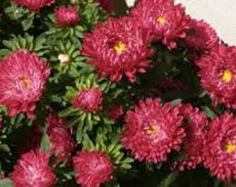 Aster PRINCESS MAXI RED seeds 0,4 g (aprox. 250) best before 2020, best Baltic seeds