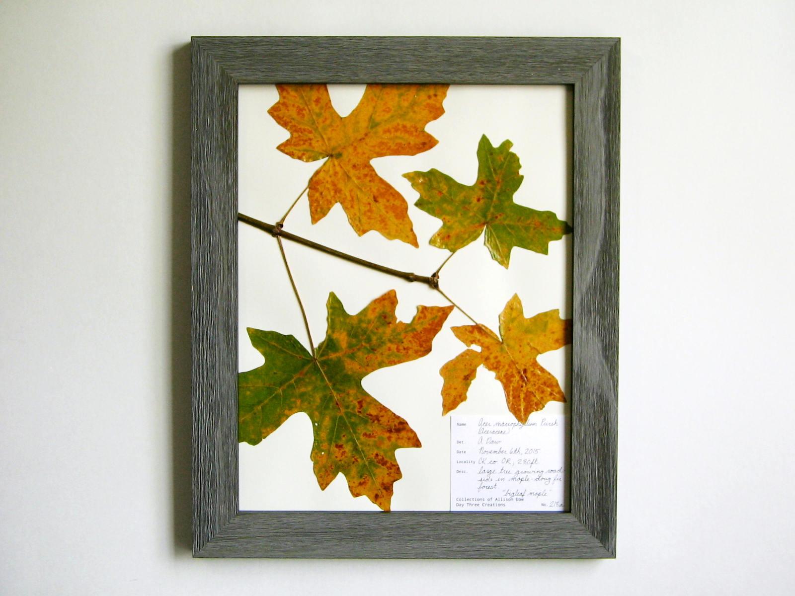 Real presiona arce hojas 11 x 14 con marco herbario muestra