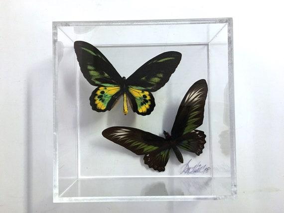 BIRDWINGS IN FLIGHT! - Framed, mounted butterflies