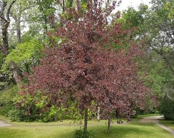 TreesAgain Potted Chokecherry Tree - Prunus virginiana - 12 to 20+ inches