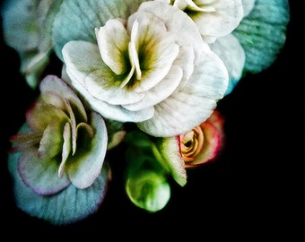 White Begonias Old Master, fine art flower photography, nature photograph, wall art print, home decor