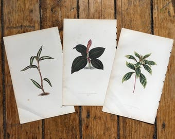 3x ANTIQUE PLANT PRINTS c.1861 - botanical lithographs - original antique prints by Lowe - orchid tropical exotic flower prints