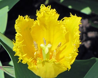 Yellow Fringed Tulip